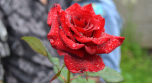 Rose flower with dew drops