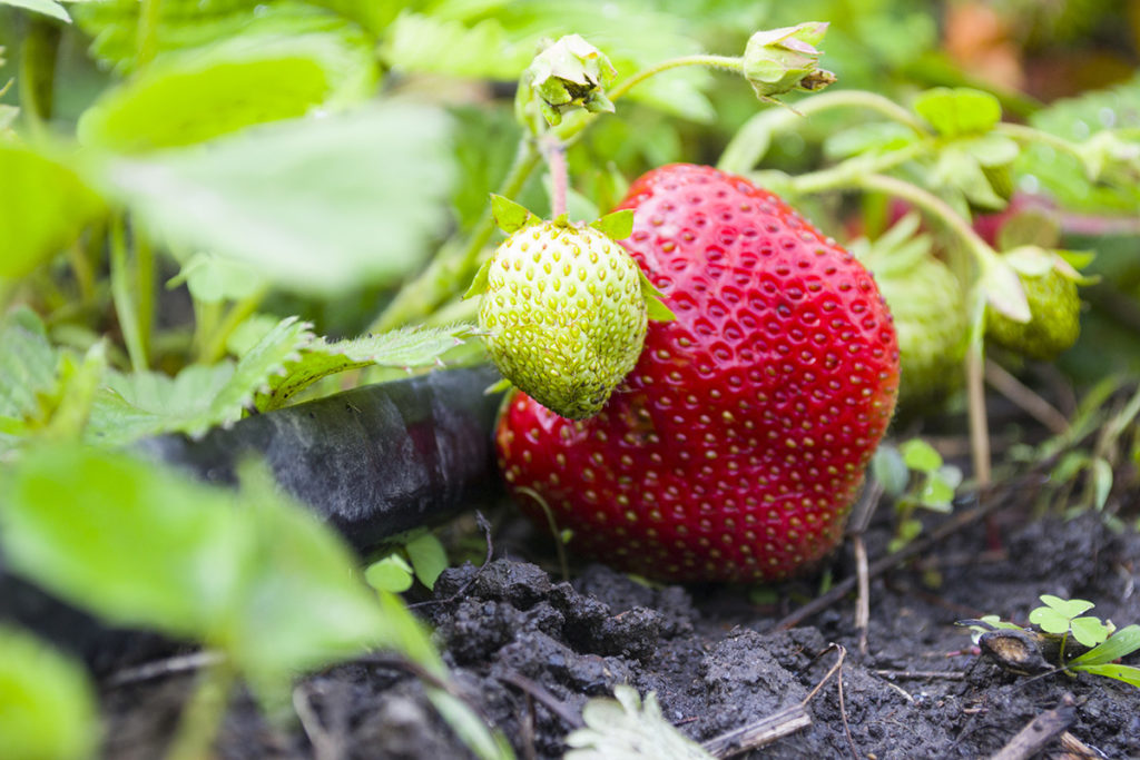 Strawberry berries after the rain. Focus on the green berry
