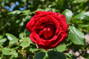 blooming red rose on a background of green leaves