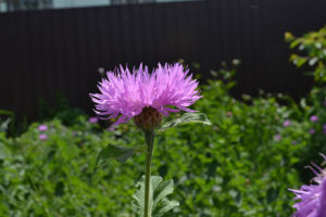Cornflower meadow lilac pink flower
