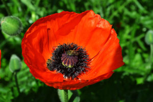 Flower of red decorative poppy and bee close-up